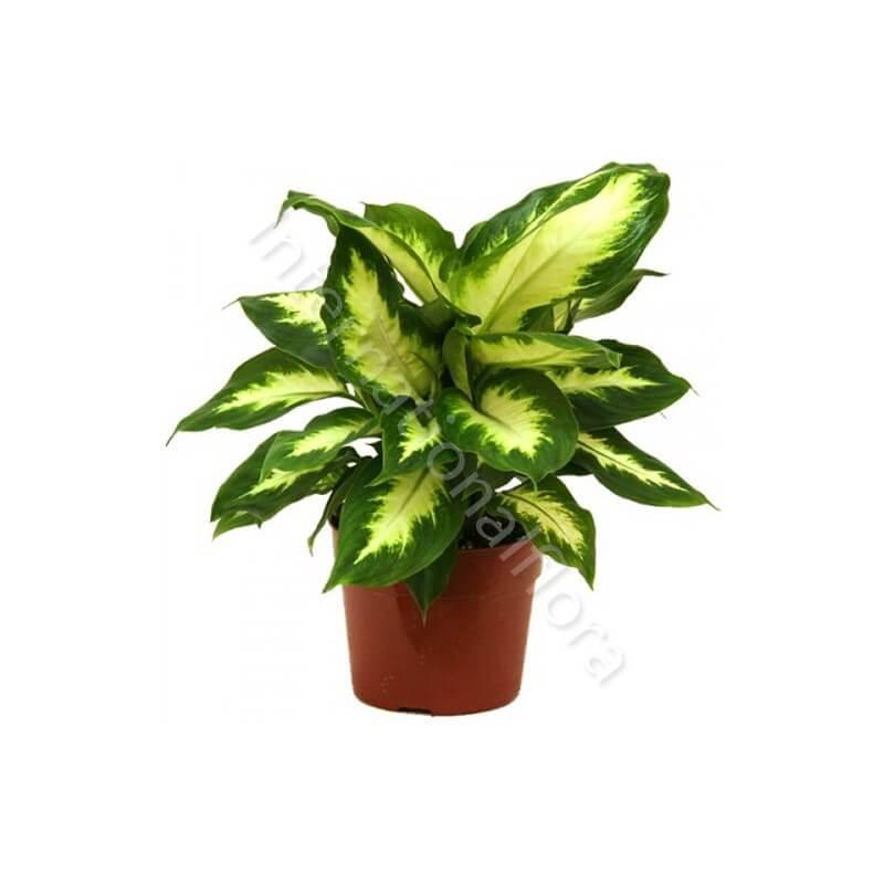Pianta di Dieffenbachia internationalflora.com