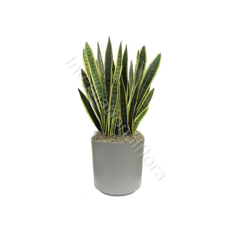 Pianta di Sanseveria internationalflora.com