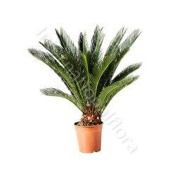 Pianta di Cycas internationalflora.com