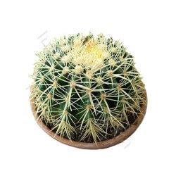 Cuscino della suocera: pianta grassa