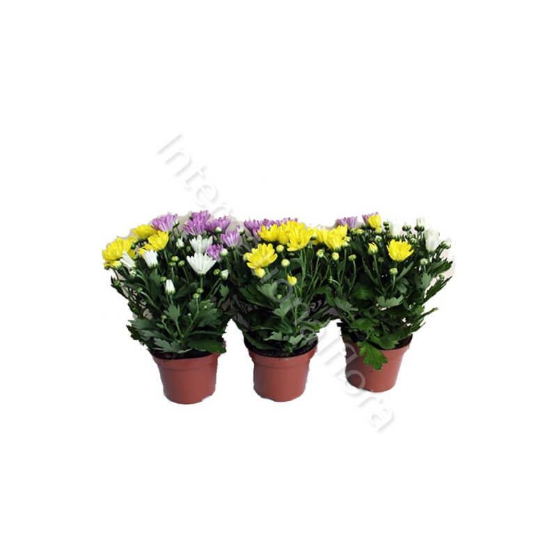 Piccola Pianta di Crisantemi internationalflora.com