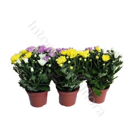 Piccola Pianta di Crisantemi