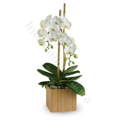 Orchidea Phalenopsis bianca