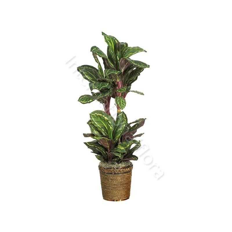Pianta di Maranta internationalflora.com