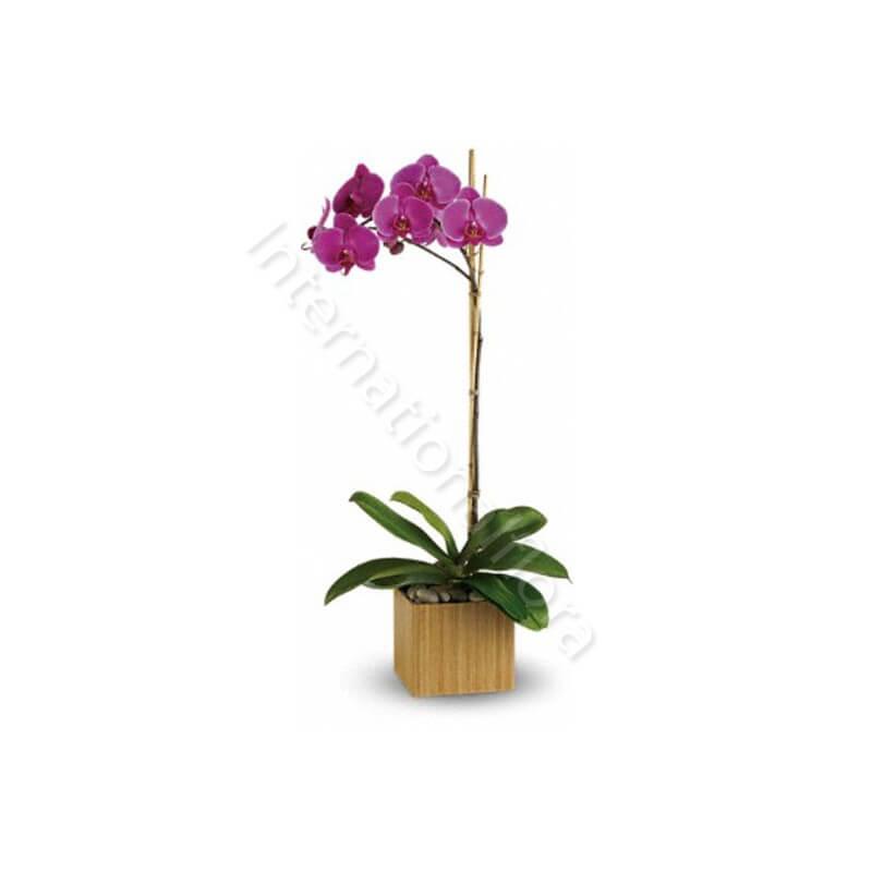 Orchidea Phalenopsis viola internationalflora.com