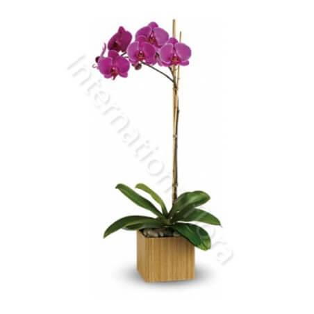Orchidea Phalenopsis viola