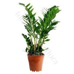 Pianta di Zamia internationalflora.com