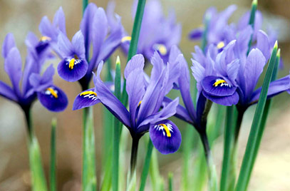 Iris (Iridacee)