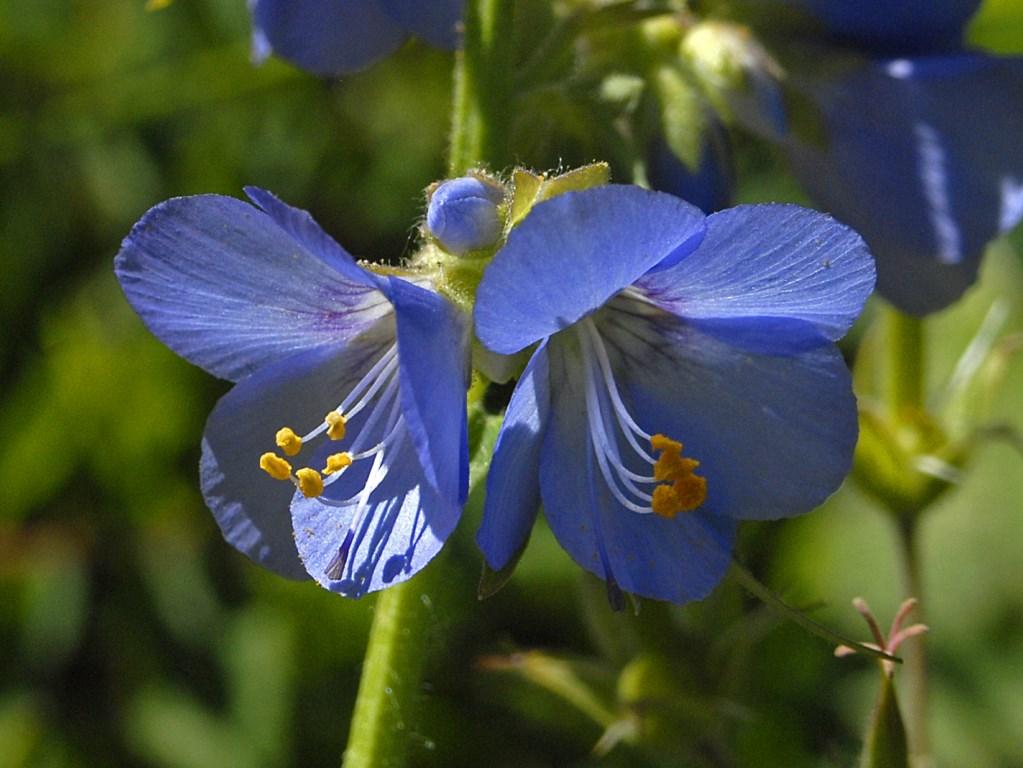 Polemonio azzurro (Polemionacee)