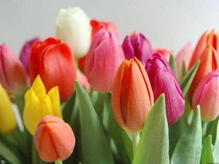 Tulipano (Liliacee)