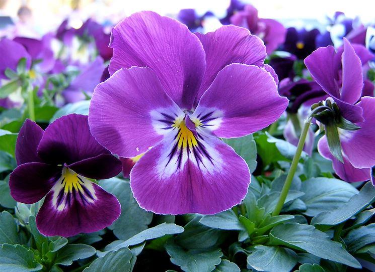 Viola (Violacee)