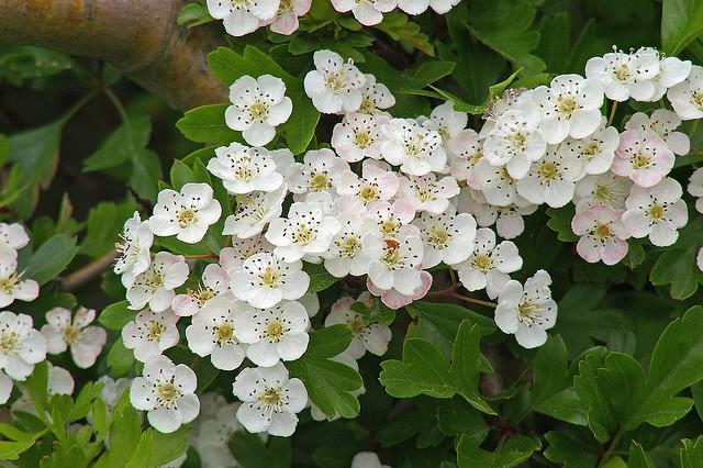 Biancospino (Rosacee)