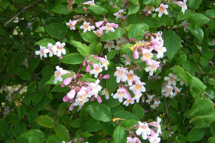 Kolkwitzia (Caprifogliacee)