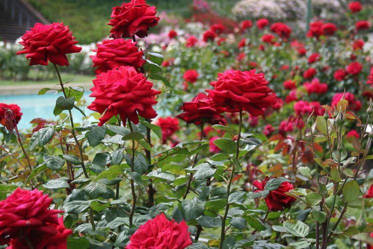 Come coltivare e curare le rose a casa propria