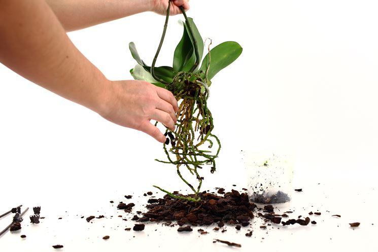 Rinvaso della Phalaenopsis