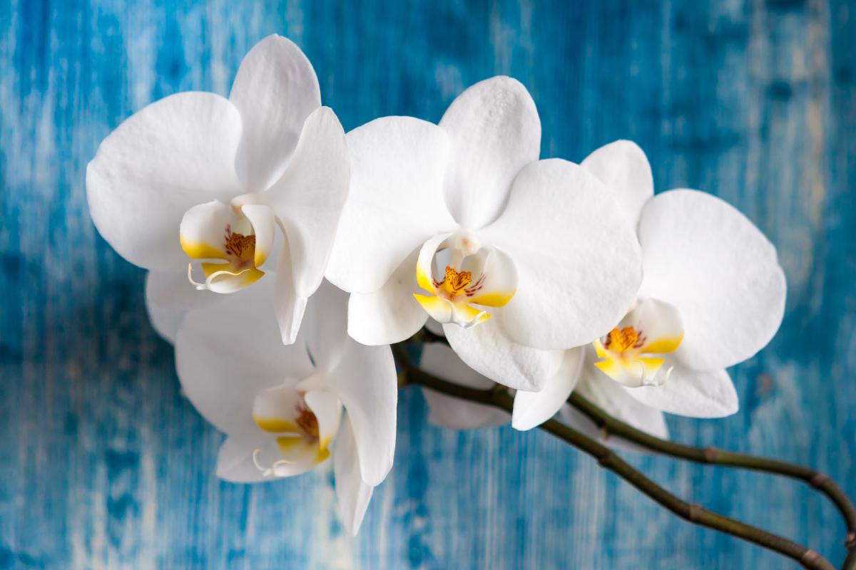 Qual è il significato dell'orchidea bianca?
