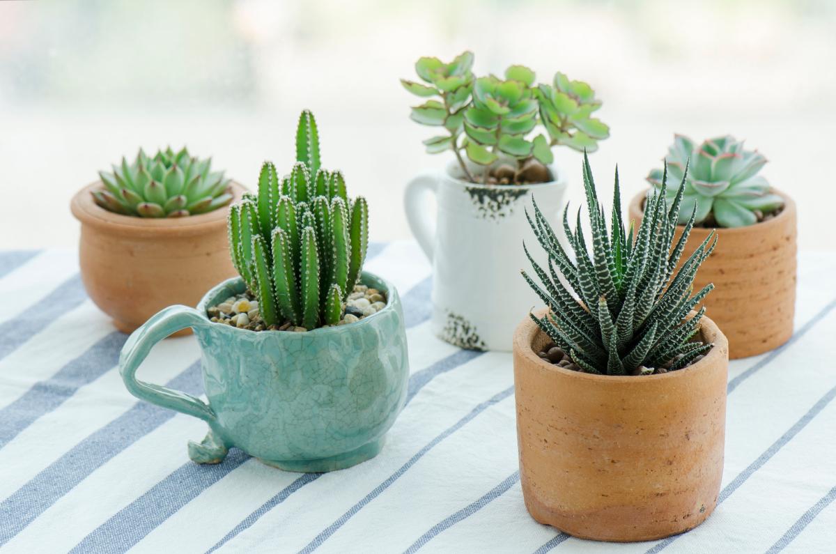 SOS pollice nero! Ecco 3 piante grasse con fiori da appartamento