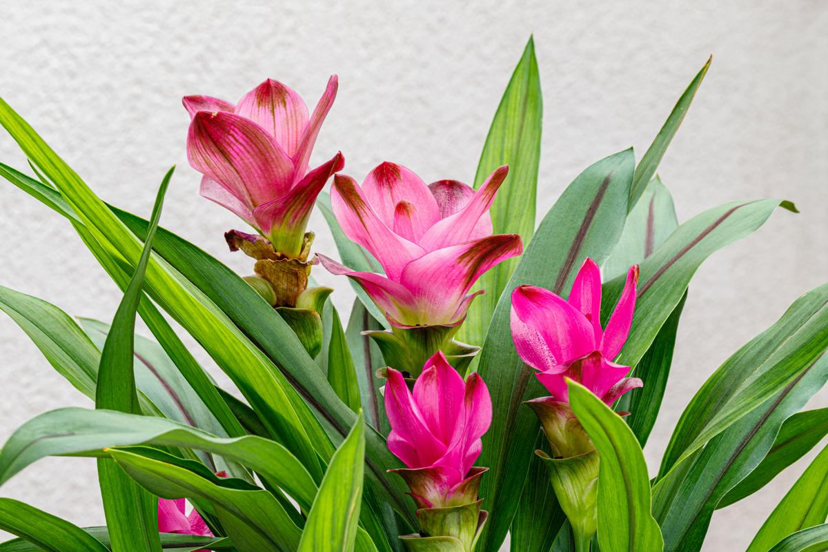 Qual è il significato della Curcuma e perché è un fiore originale