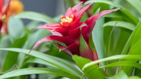 Guzmania: cura e mantenimento della pianta che depura l'aria