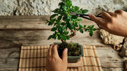 Come curare un bonsai? L'ABC per chi è alle prime armi