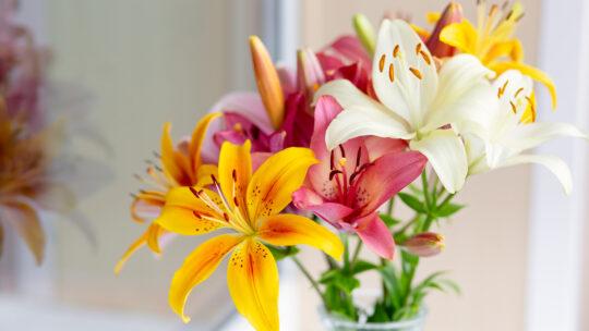 Come si piantano i gigli? Tutte le caratteristiche del fiore del mese di agosto
