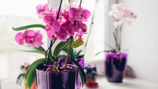 Quante varietà di Orchidee esistono al mondo? Ecco le principali